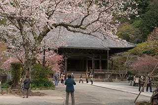 446 鎌倉 妙本寺 桜の頃