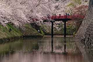 454 弘前城公園 桜日和