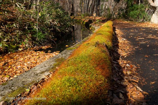 蔦の森:木道の苔が美しい、この辺りはすでに晩秋の趣。