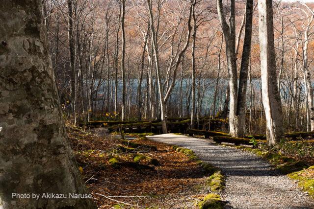 蔦の森:蔦沼から流れ出る湯沼沢を右に見ながら500mほど歩くとブナ林越しに蔦沼が見えてくる。