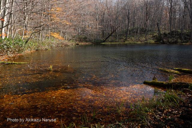 蔦の森:蔦沼から鏡沼そしてこの「月沼」と標高が徐々に高くなる、月沼の流れが下の鏡沼へつながっているようだ。下の鏡沼と逆に北側からの展望なので逆光になり少しギラギラした雰囲気。おそらく曇り空の柔らかい光が似合うのでは。周囲のブナ林の落葉が水の流出側へ堆積していた。開放的な雰囲気の鏡沼に比べ森閑とした森の中にひっそりと存在している雰囲気だ。