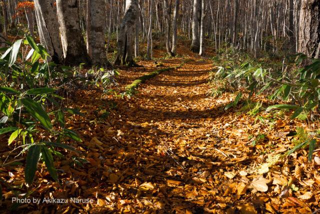 蔦の森:秋の日はつるべ落とし、未だ午後2時少し前なのに遊歩道には長い影が落ちていた。落ち葉を踏みしめながらの明るい森の逍遙は心地よい。これまでに人に出会わない、すでにシーズンオフなのだろうか?