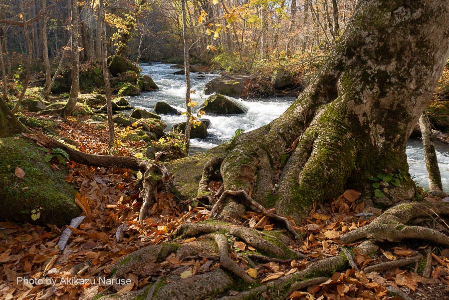 奥入瀬渓流:石ケ戸から少し歩くと穏やかな流れが一転、急流となり渓流に点在する岩の間を激しい流れが水しぶきを上げてダイナミックだ。 この辺りが「石ケ戸の瀬」と呼ばれ奥入瀬渓流名所の一つ。