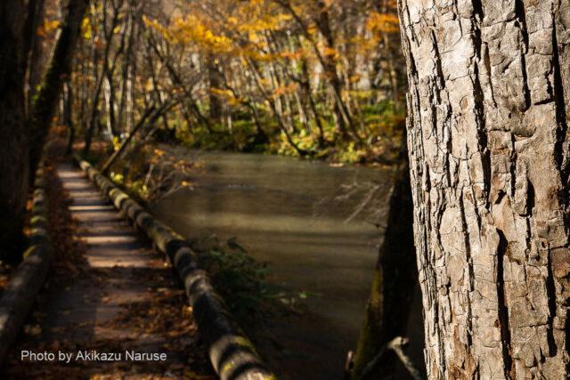 奥入瀬渓流:石ケ戸の瀬を過ぎると再び静かな流れとなる、風で木道に舞い落ちる葉の音が聞こえるほど穏やかな流れだ。