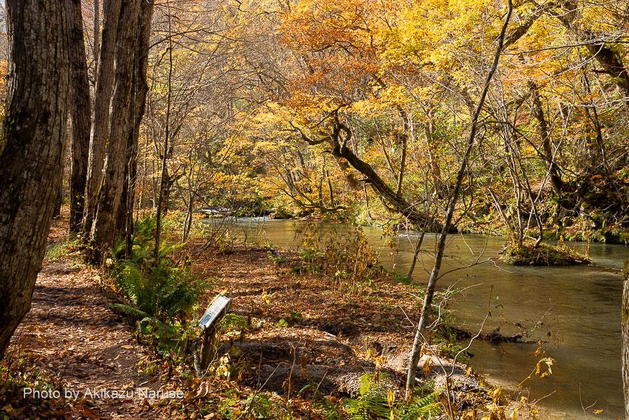 奥入瀬渓流:散り落ち葉に残り紅葉、渓流も紅葉色に染まっているかのようだ。他に歩く人も見当たらずこの景色のなかでただ一人しばし立ち止まる。