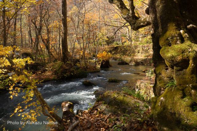 奥入瀬渓流:阿修羅の流れから少し進むと遊歩道が左へカーブする、その辺りが「九十九島」。 渓流中に点在する岩に植物が生え島のように見えるからこの名がついたのだろうか?