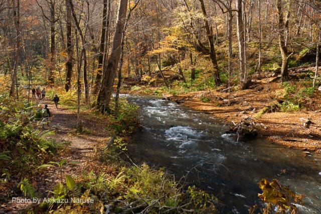 奥入瀬渓流:奥入瀬渓流の遊歩道が渓流水際に造られているのがよく分かる、深く切れ込んだV字渓谷でなく、U字渓谷になっているからだろうか。