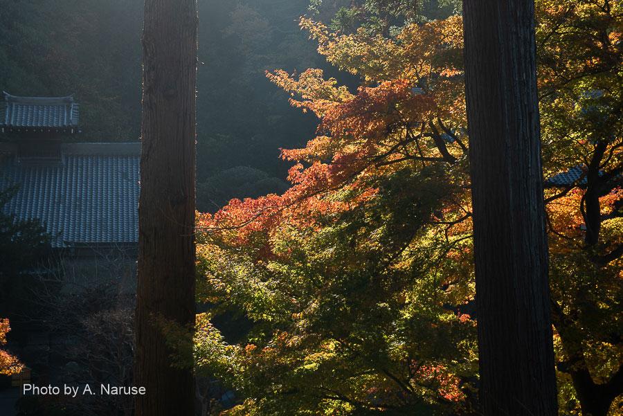 円覚寺:杉木立と紅葉。