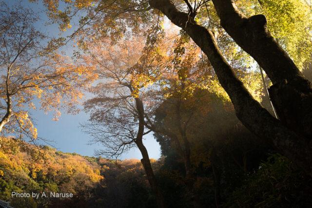 円覚寺:谷戸の南西へ延びる尾根に朝陽が射し初冬の紅葉が美しい。海に近い鎌倉の地では12月でも紅葉の見頃が続いていた。
